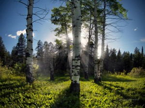 Idaho, aspens, aspen, aspen forest, sun rays, evening light, forest, trees, shadow, Caribou Mountains, scenic, nature, landscape, mist, warm light, spring, forest light, HDR, sunlight
