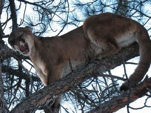 cougar web 2